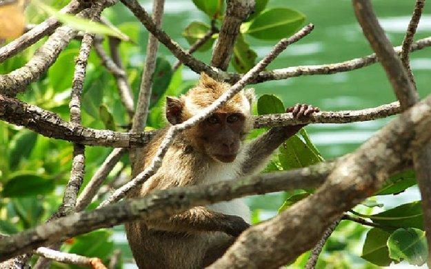 gua monyet