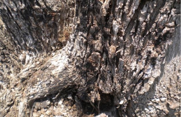 kulit pohon12