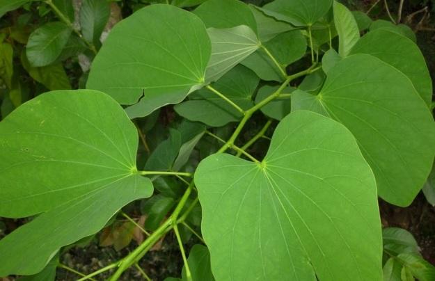 daun di baun