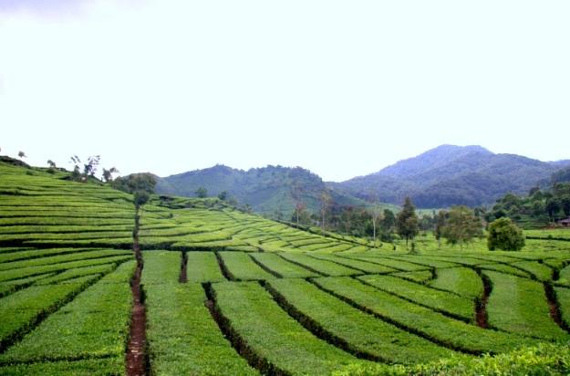 kebun teh1