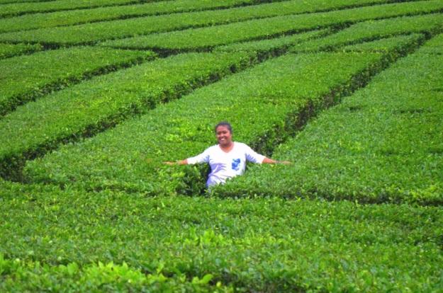 kebun teh2