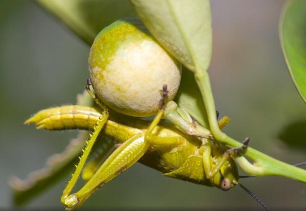 belalang di buah