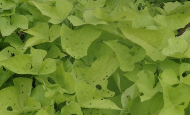 daun yang berlubang1