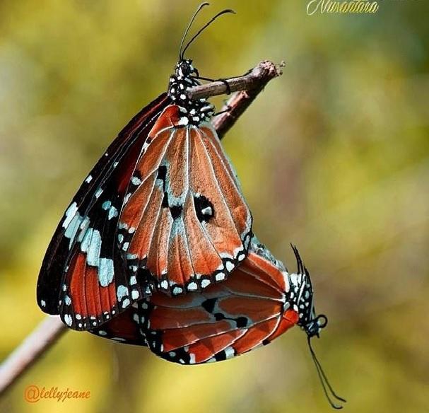 kupu - kupu indah