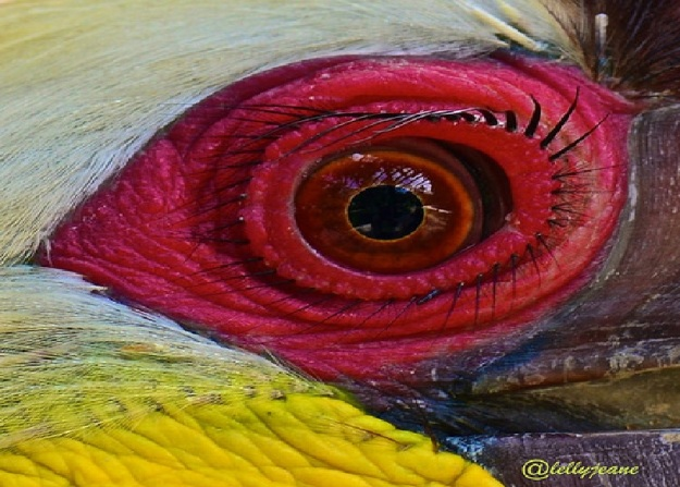 Mata ayam