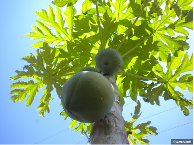 papaya big boob fruits