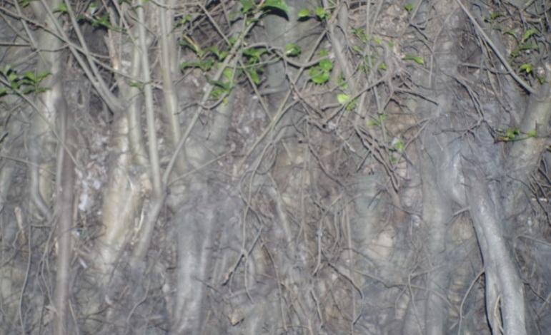 akar besar4