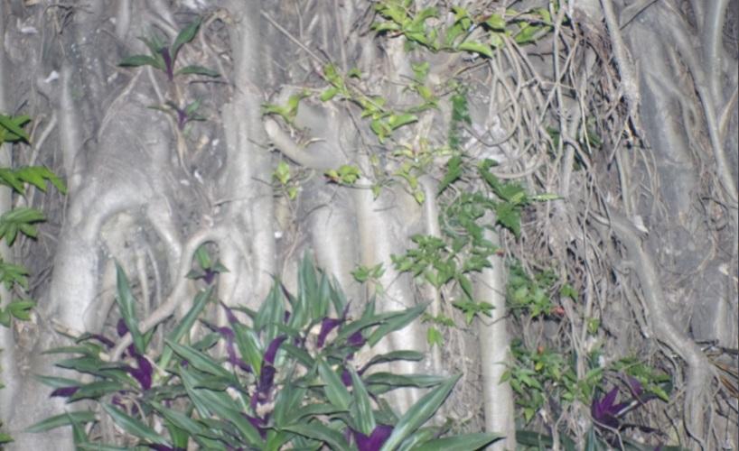 akar besar7