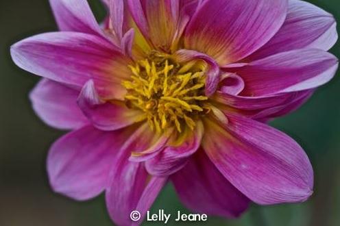 flower lelly jeane 2