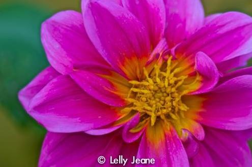flower lelly jeane 3