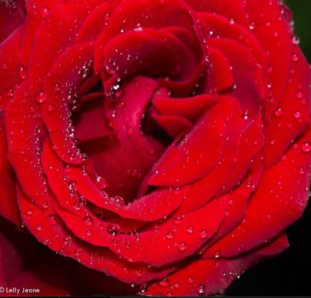 flower lelly jeane1