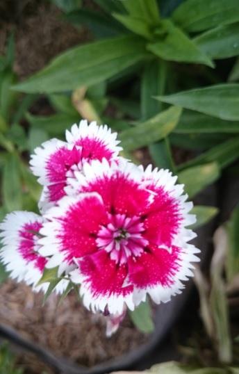 flower rudi11