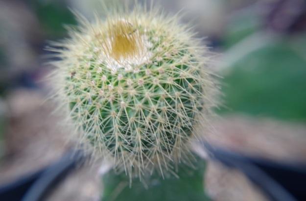 kaktus molina2