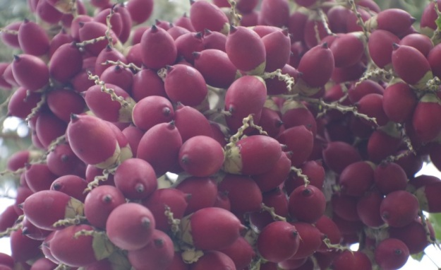 buah merah1