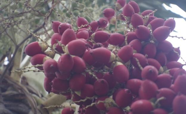 buah merah2