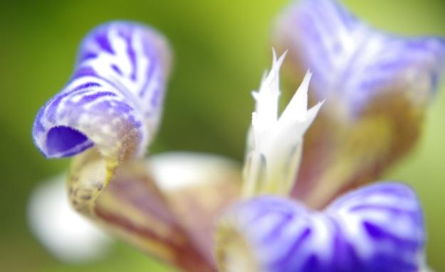 bunga biru4
