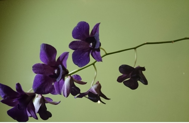 bunga vera1