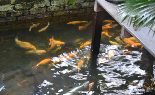 Ikan Mas1