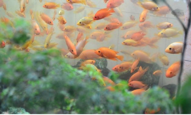 Ikan Mas3