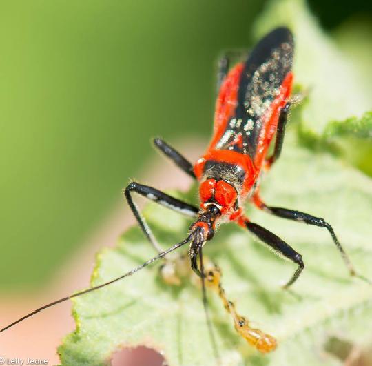 belalang sangit1
