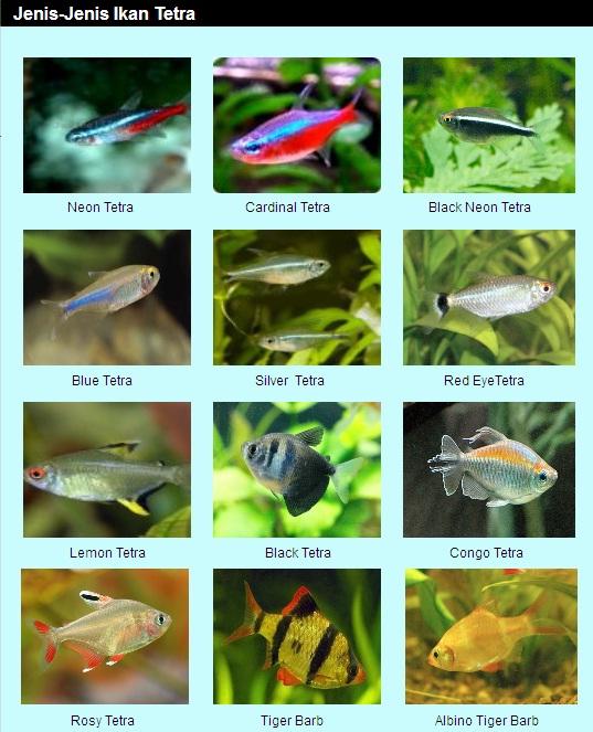 jenis - jenis ikan hias1