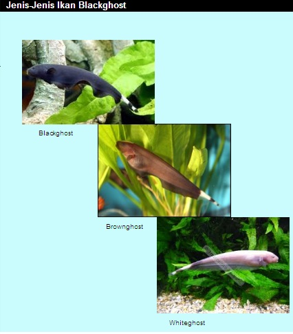 jenis - jenis ikan hias4