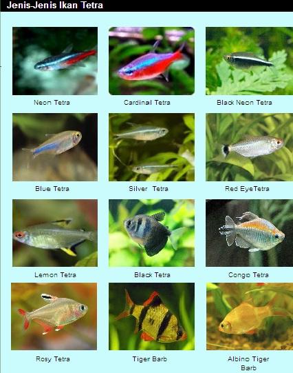 jenis - jenis ikan hias6