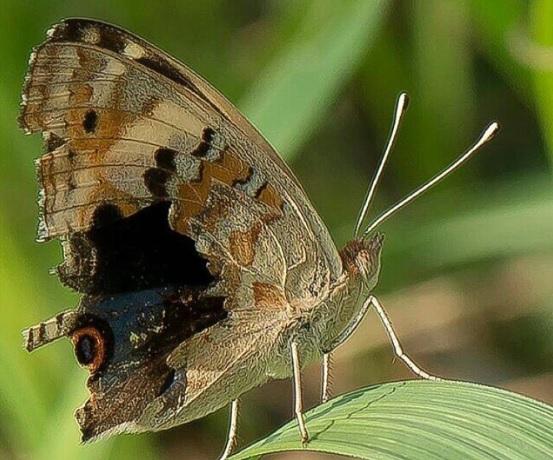kupu - kupu yang menantang
