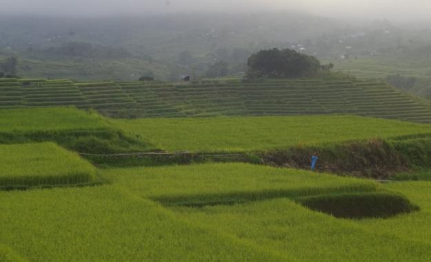 sawah di Kab Manggarai 2