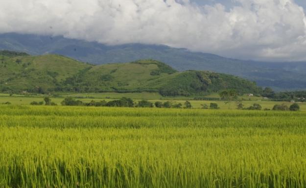 sawah di Kab Manggarai6
