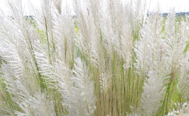 rumput putih