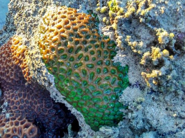 trumbu karang10