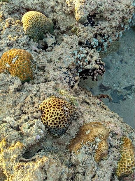 trumbu karang12