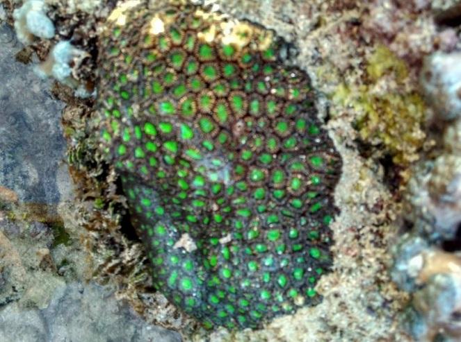 trumbu karang14