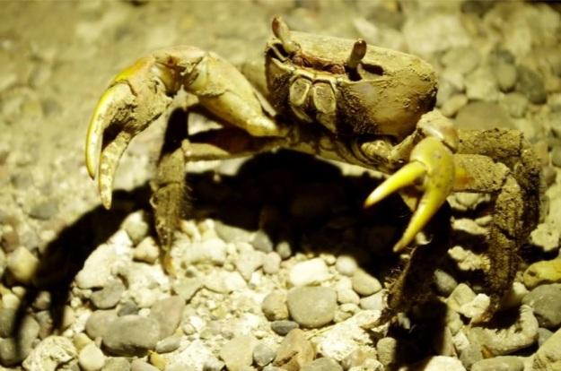 kepiting 3