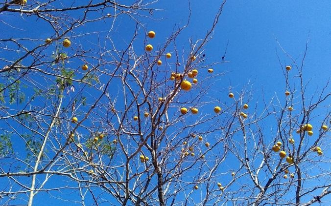 buah bila 2