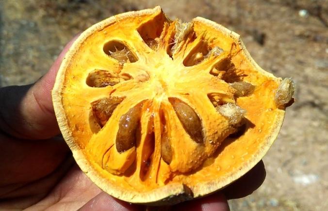 buah bila 3