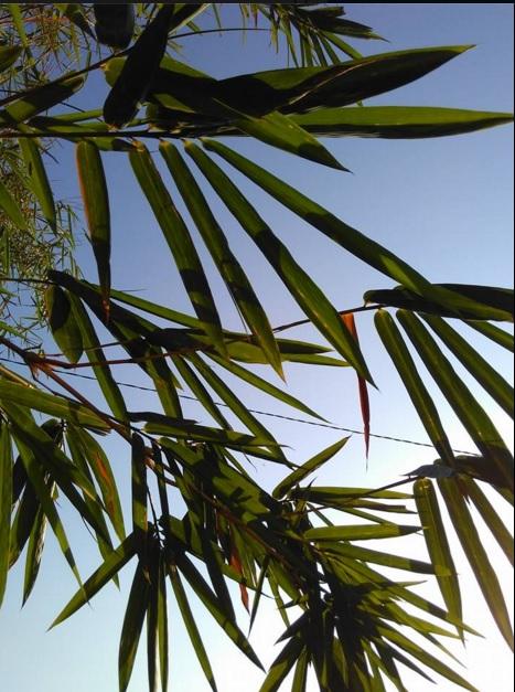 Berteduh dibawah daun bamboo