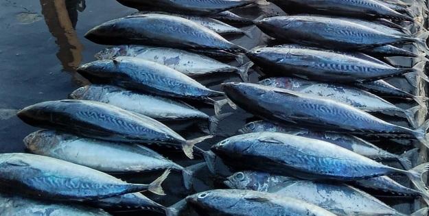 ikan tongkol 1