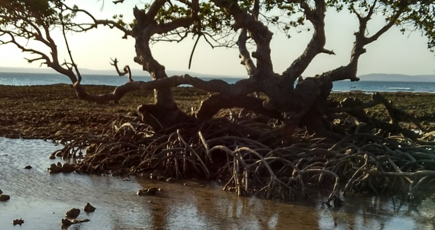 mangrove5