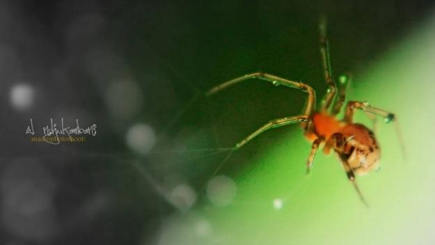 seekor laba-laba