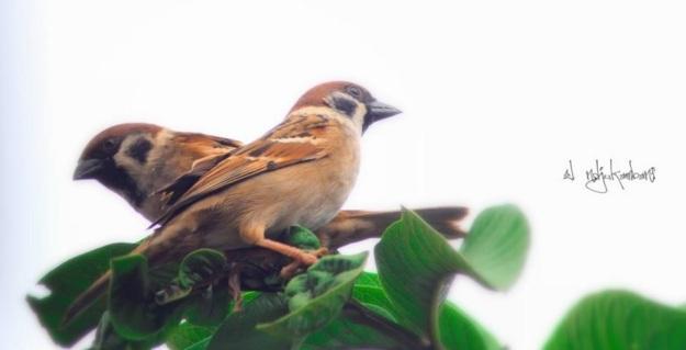sepasang burung pipit1