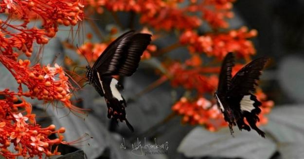 sepasang kupu-kupu1