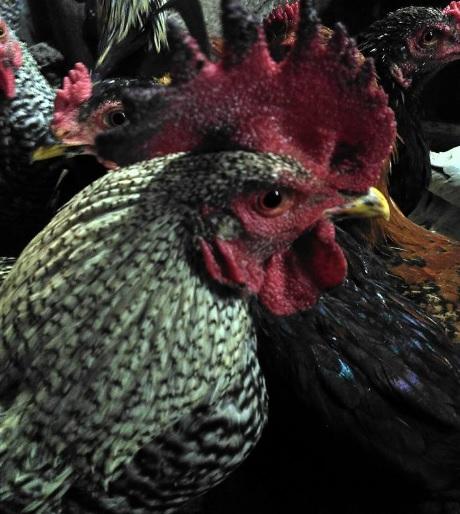 ayam kampung2