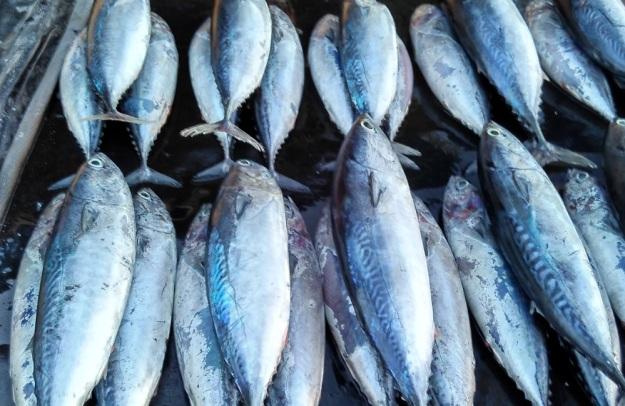 ikan-tongkol
