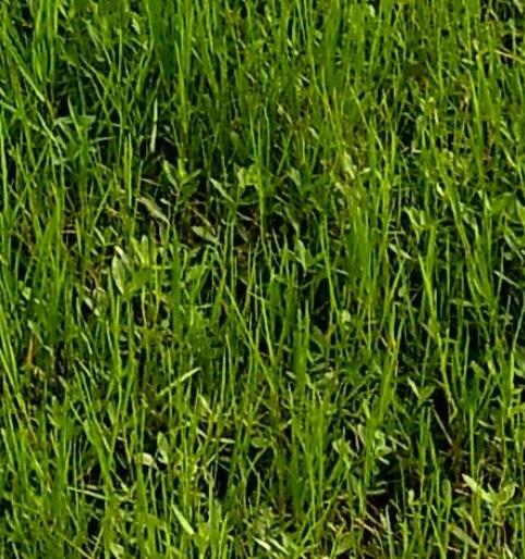 rumputku-hijau2
