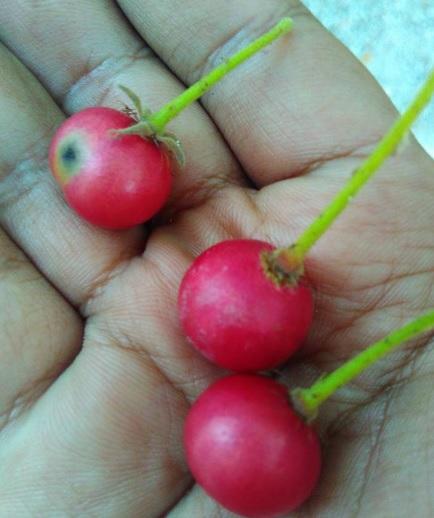 buah gersen