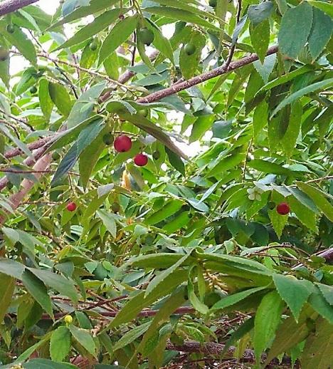 Pohon gersen1