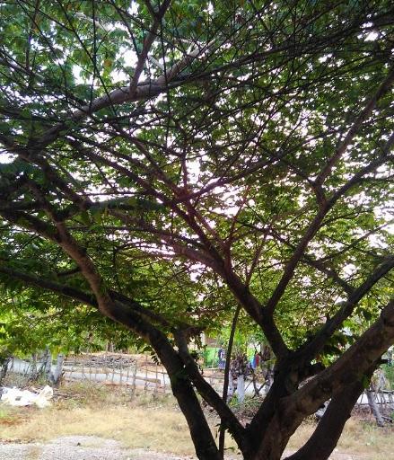 pohon gersen3
