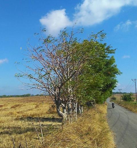 busalangga1